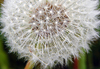 [Dandelion Seedhead - Link to Leaves, Grasses and Seeheads]